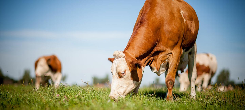 Leckmasse für Rinder